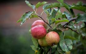 Картинка осень, природа, яблоки