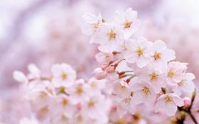 Картинка цветы, природа, вишня, ветка, весна, сакура, цветение