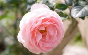 Обои роза, макро, нежность