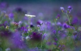 Обои поле, лето, цветы, фиолетовые, сиреневые