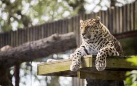 Обои лапы, морда, дикая кошка, отдых, хищник, амурский леопард