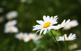 Картинка зелень, лето, трава, цветы, тепло, ромашки, ромашка