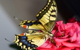 Обои роза, мотылек, розовая, цветок, бабочка