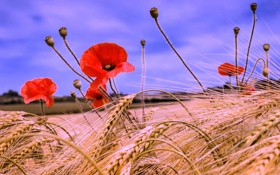 Обои цветок, поле, небо, колос, маки