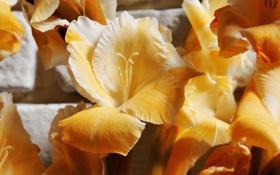 Обои макро, цветы, лепестки, гладиолусы