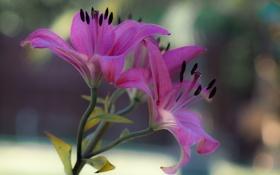 Картинка макро, лилия, лепестки, стебель
