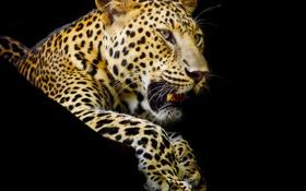 Обои хищник, лапы, леопард, клыки, черный фон, пятнистый