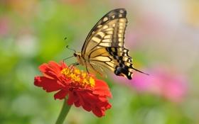 Обои бабочка, макро, цветок