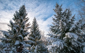Картинка зима, природа, ёлки
