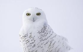 Обои птица, полярная сова, клюв, перья