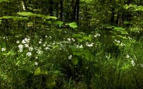 Картинка зелень, лес, лето, трава, деревья, цветы, ромашки