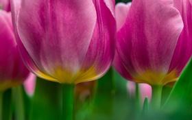 Обои макро, тюльпаны, розовые, цветы