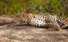 Картинка отдых, камень, хищник, леопард