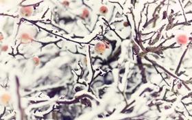 Обои яблоки, ветки, природа, снег, зима, яблоня