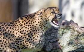 Обои кошка, пасть, гепард, оскал, ©Tambako The Jaguar