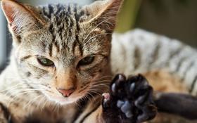 Картинка кот, морда, лапа, котэ