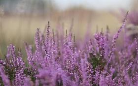 Обои трава, Цветы, размытие, вереск