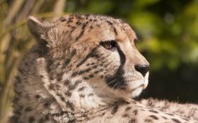Картинка морда, хищник, гепард, профиль, охотничий леопард