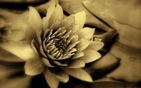 Обои макро, растение, лепестки, кувшинка, белая