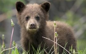 Обои медведь, природа, фон