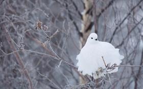 Обои зима, ветки, птица, белая, куропатка, Белохвостая куропатка