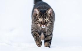 Картинка зима, кот, снег, кошак, котяра