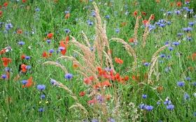 Обои поле, трава, цветы, растение, луг