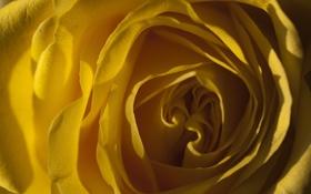 Обои цветок, свет, желтый, роза