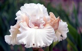Обои белый, цветок, лепестки, ирис