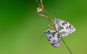 Картинка бабочки, крылья, стебель, пара, wings, couple, butterflies