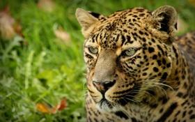Картинка пятна, леопард, leopard, animal
