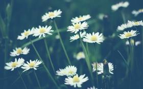 Обои белые, много, ромашки, цветы