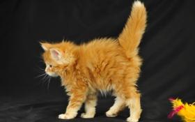 Картинка котенок, пушистый, рыжий