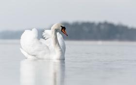 Обои природа, лебедь, озеро