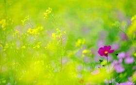 Обои фокус, желтые, полевые, космея, цветы