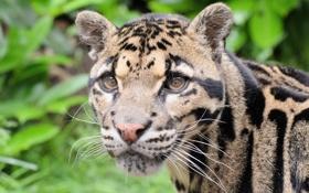 Картинка морда, хищник, дымчатый леопард