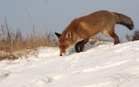 Картинка зима, рыжая, снег, лиса