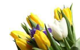 Картинка тюльпаны, бутоны, ирис