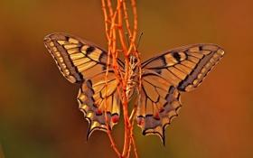 Обои бабочка, насекомое, веточки, стебелек, желтая