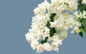 Обои цветы, ветка, лепестки, белые, голубой фон, бугенвиллея