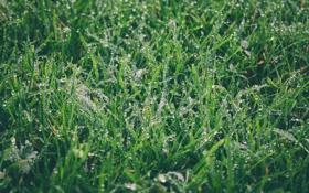 Обои зелень, трава, капли, роса, зеленая