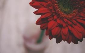 Картинка цветок, лепестки, красные