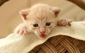 Обои кошка, кот, котенок, корзина, маленький, cat