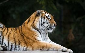 Картинка кошка, тигр, профиль, амурский