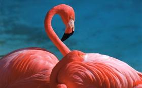 Обои розовый, перья, клюв, красиво, фламинго, шея
