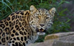 Обои морда, хищник, леопард, клыки, дикая кошка