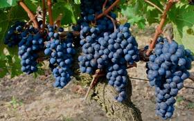 Обои лоза, гроздь, виноград, кисть, ягоды