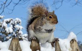 Обои зима, снег, белка, мех, грызун
