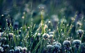 Картинка капли, клевер, трава, природа, растения, зелень, цветы
