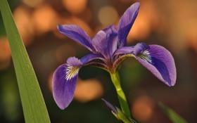 Обои цветок, flower, macro, ирис, iris